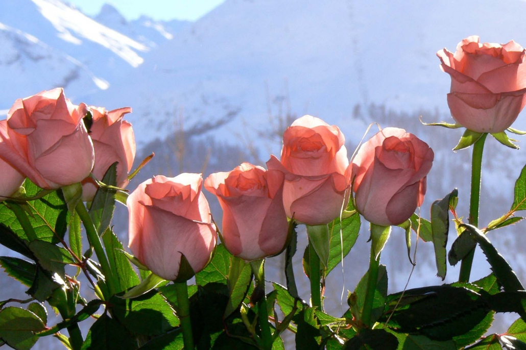 Val d'Isere flowers